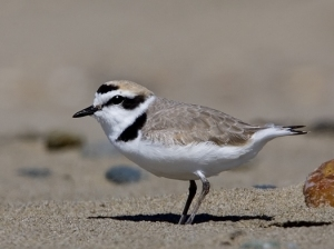 Western Snowy Plover (photo by Michael L. Baird)